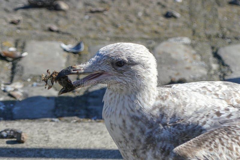 Argentatus juvénile de mouette d'harengs/mouette/Larus avec une moule dans sa bouche qu'il a cassé ouvert photographie stock libre de droits