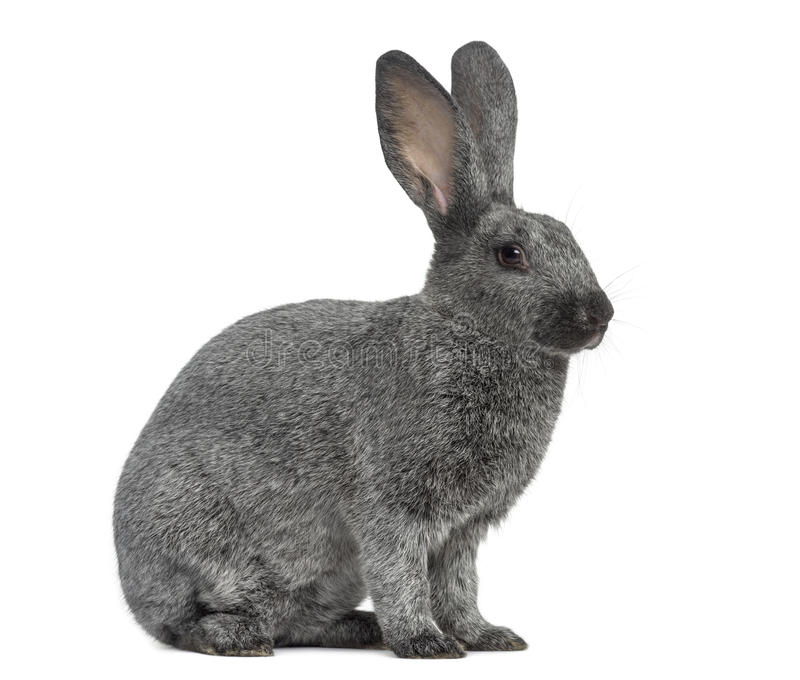 Argente rabbit isolated on white royalty free stock photography