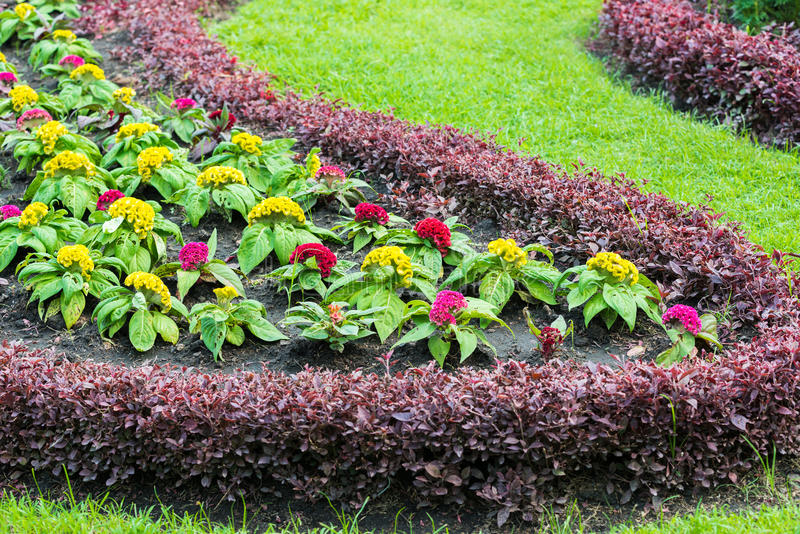 Argentea amarelo do Celosia imagem de stock royalty free