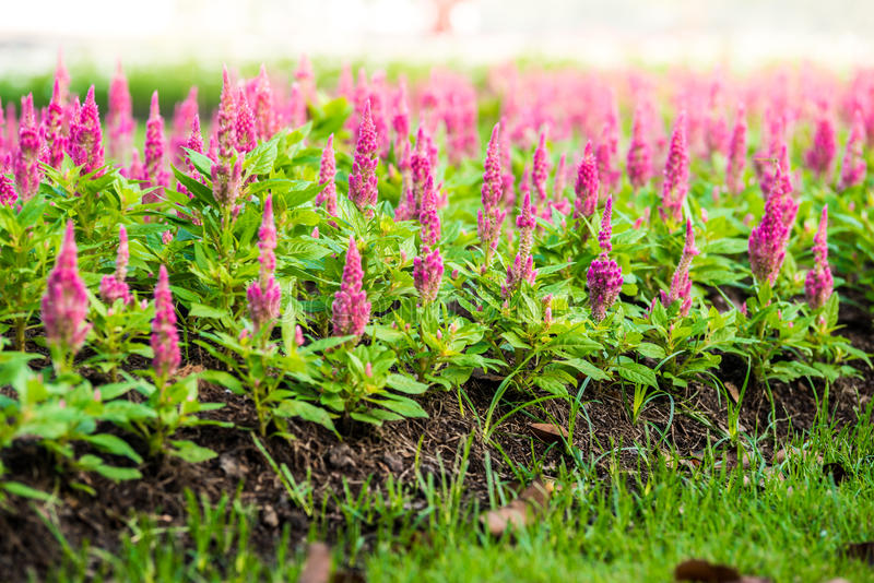 Argentea cor-de-rosa do Celosia fotografia de stock royalty free