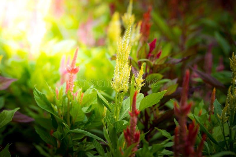 Argentea cor-de-rosa do Celosia fotografia de stock