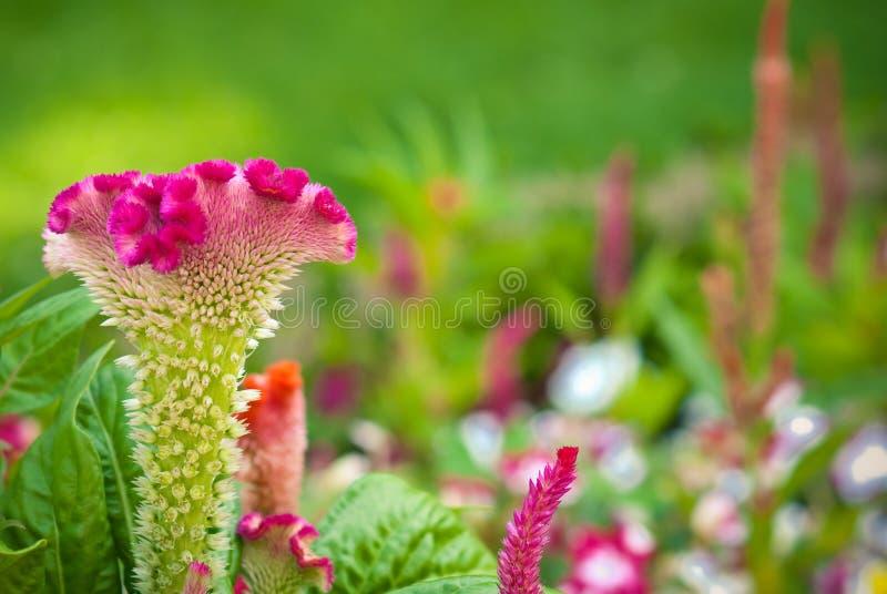 Argentea do Celosia foto de stock