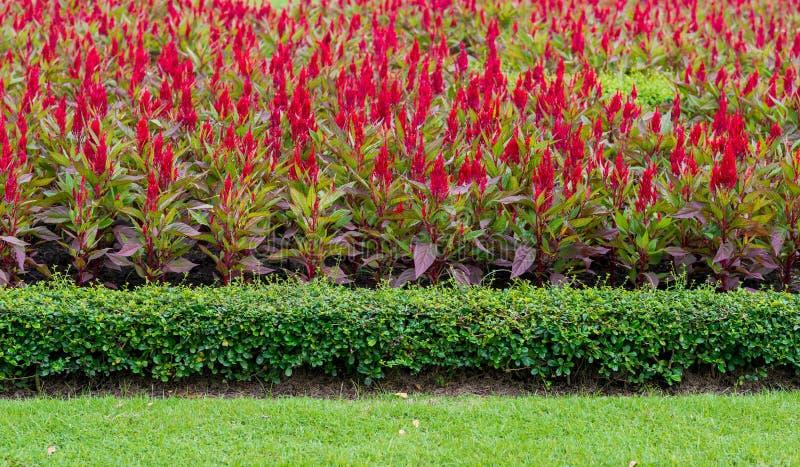 Argentea vermelho do Celosia fotografia de stock royalty free