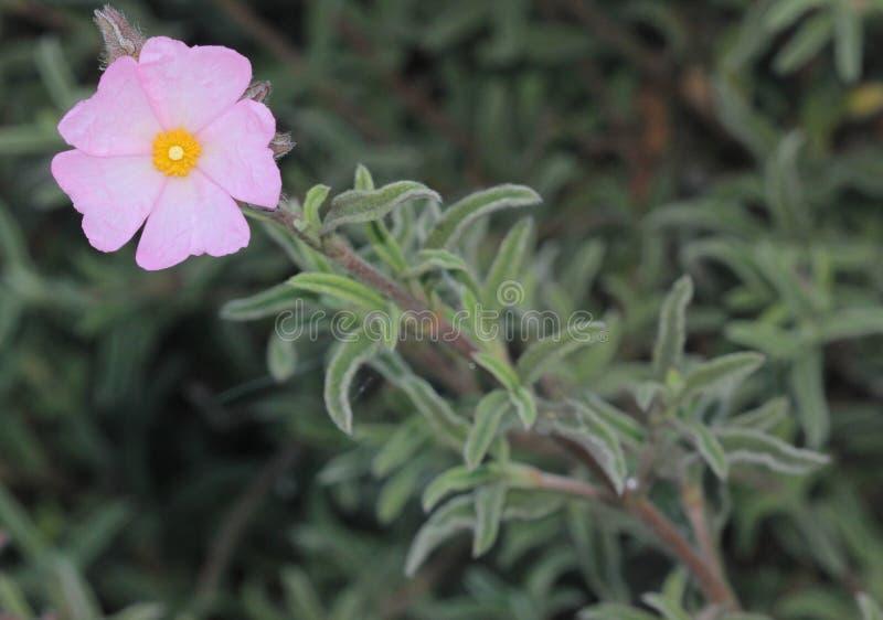 Argenteus de Cistus et x27 ; Pink& argenté x27 ; , La roche s'est levée images stock