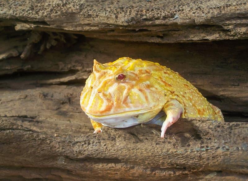 Argentijnse Gehoornde Kikker leuke geel stock afbeeldingen