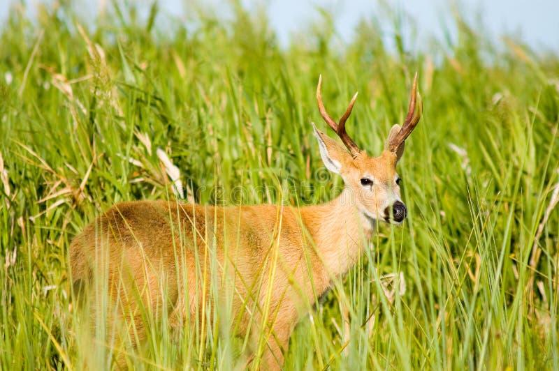 argentina jeleni ibera bagno fotografia royalty free