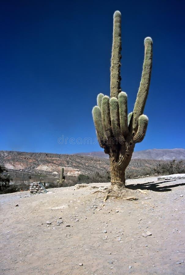 argentina kaktusowy ogromny humahuaca salta obrazy royalty free