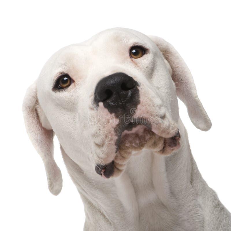Argentine Dogo (18 months) royalty free stock photo