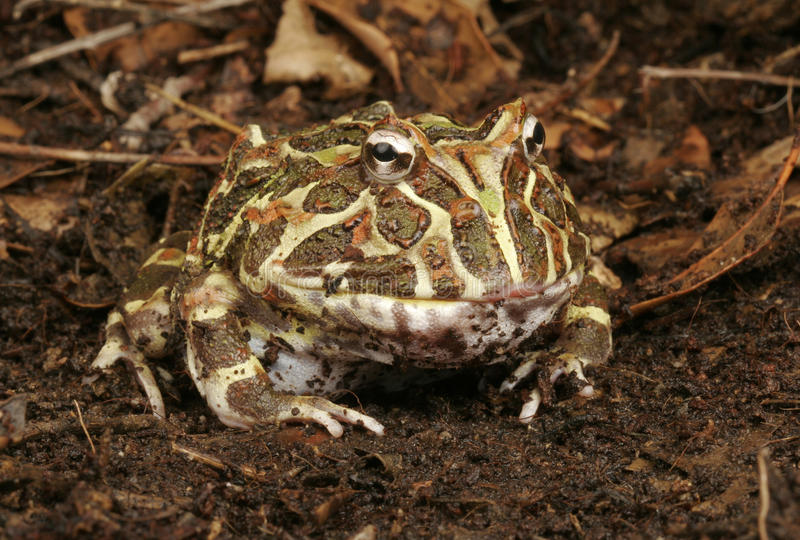 Argentine Horned Frog. stock photo