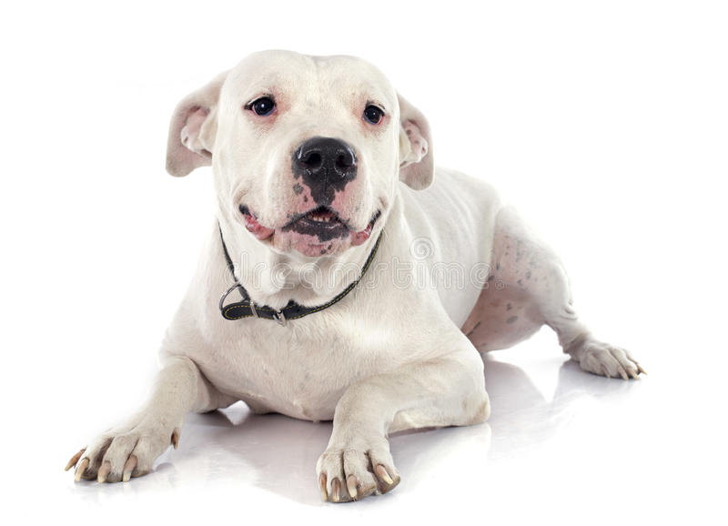 Argentinian dog. In front of white background royalty free stock photo