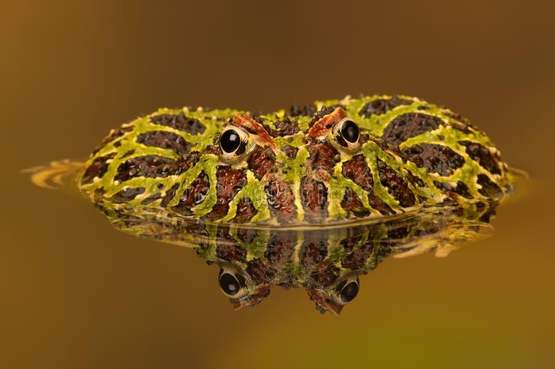 Argentinian Horned Frog (Ceratophrys Ornata). Argentinian Horned Frog reflected in water stock photography