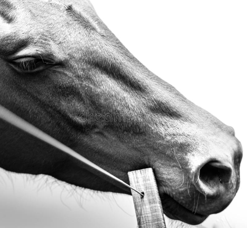 Argentinian Horse. Black and white. royalty free stock photo