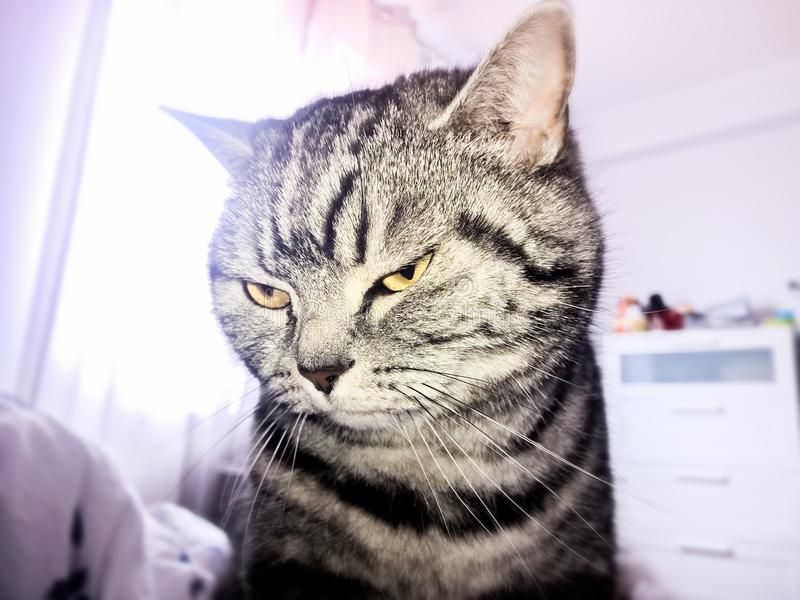 Argento Tabby Cat Close-Up di Britannici Shorthair immagine stock libera da diritti