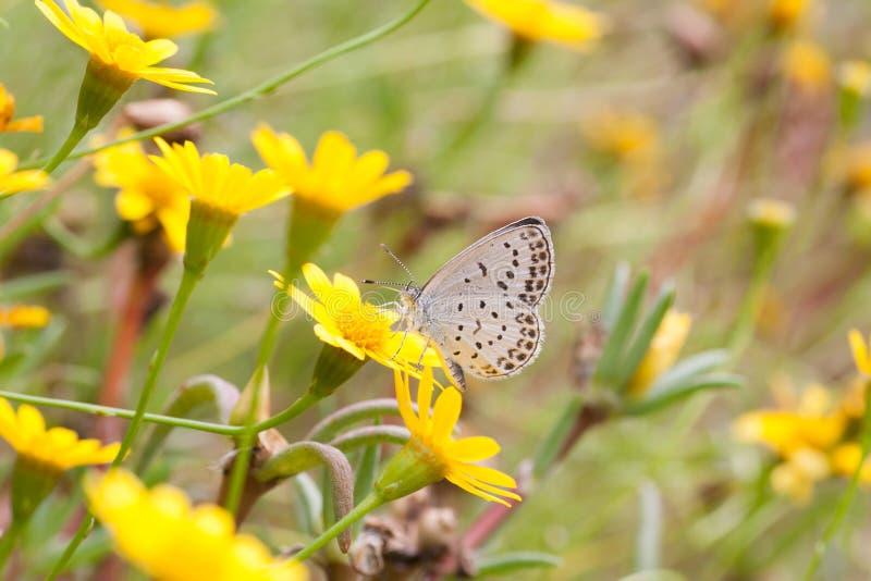 Download Argiolus de Celastrina foto de archivo. Imagen de outdoor - 64211460
