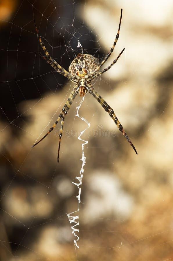 Argiope洛巴塔蜘蛛和网在腹看法 库存图片