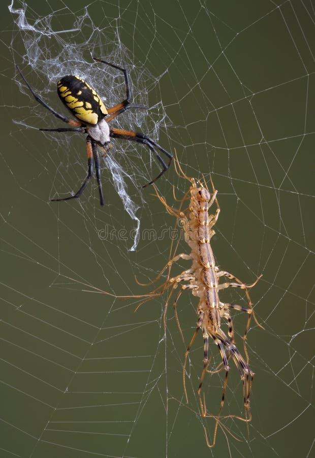 argiope蜈蚣蜘蛛 免版税库存照片