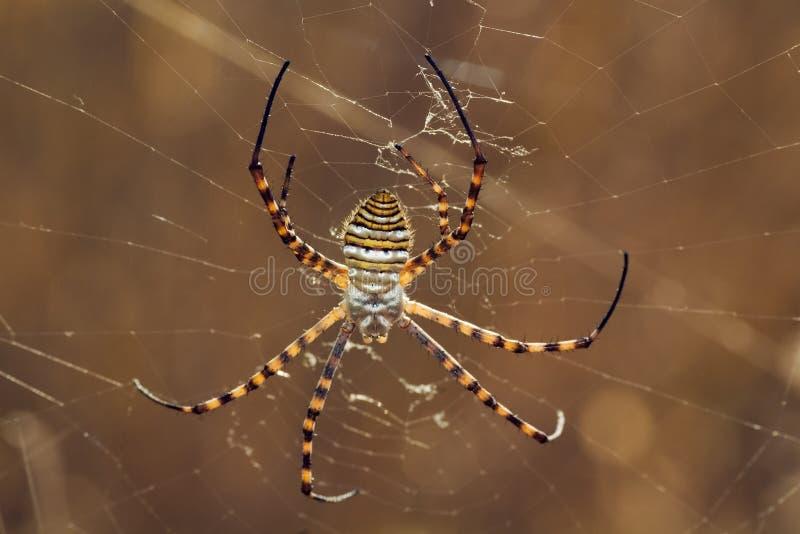 argiope蜘蛛trifasciata 库存图片