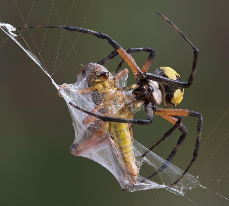 argiope跳跃者蜘蛛包裹 库存照片