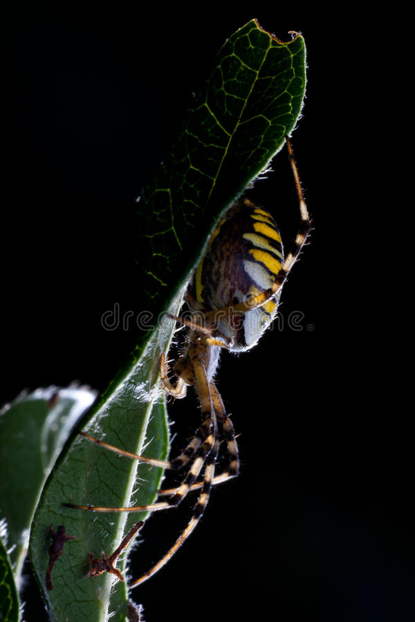 argiope σφήκα αραχνών bruennichi στοκ εικόνες με δικαίωμα ελεύθερης χρήσης