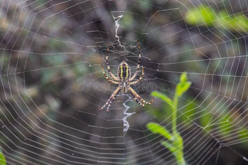 Argiope Audouin-Spinne auf Sonnenuntergang stockbild