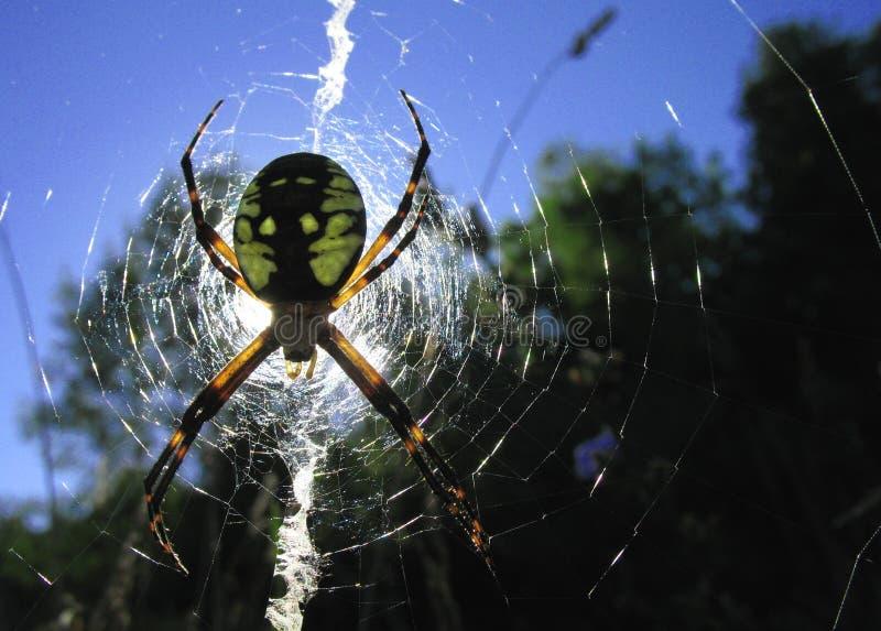 argiope aurantia蜘蛛 库存图片