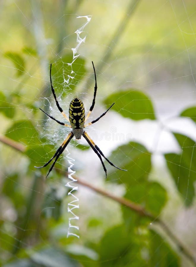 argiope aurantis蜘蛛 免版税库存图片