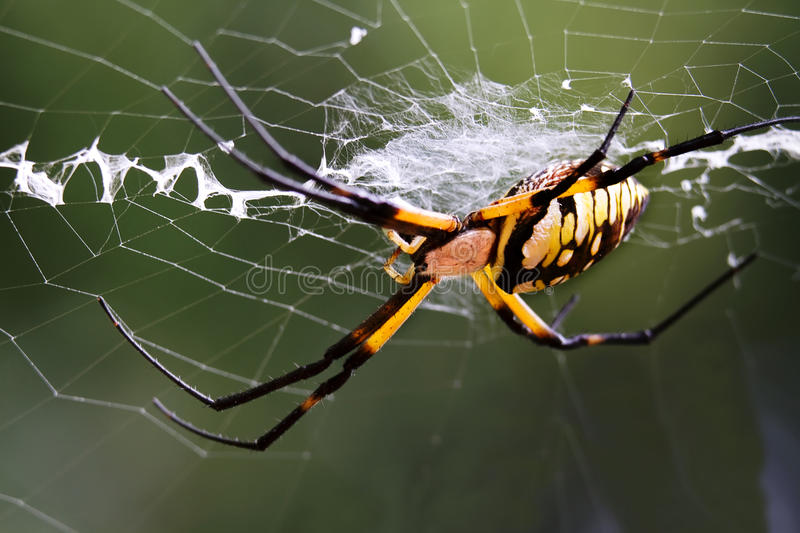 Download Argiope (black And Yellow Garden Spider) Stock Photo - Image: 16231736