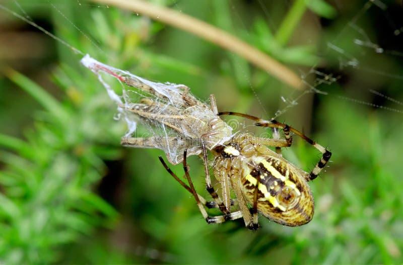 argiope bruennichi蚂蚱捕食的蜘蛛 免版税图库摄影