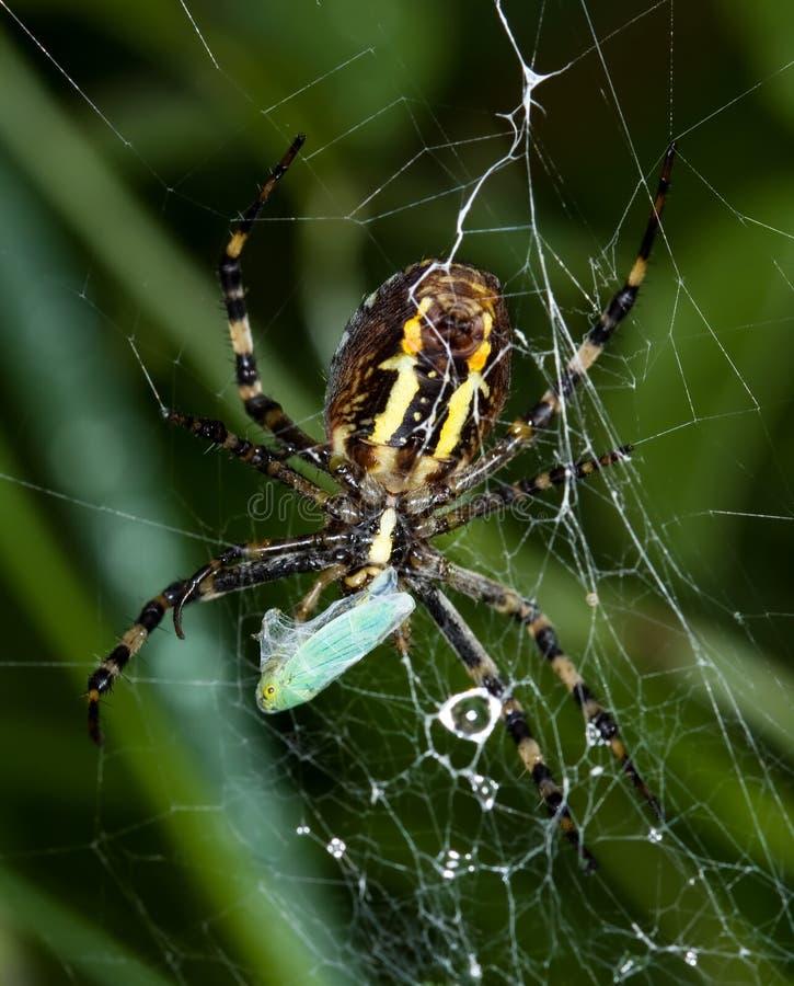 argiope bruennichi catches cicade little spider royaltyfria bilder