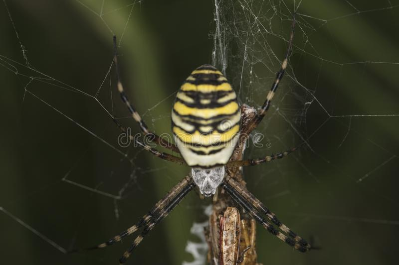 Argiope Bruennichi, dangerous spider on the web, close up stock photos