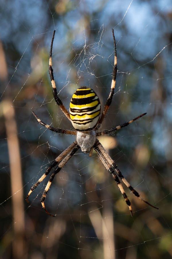 Argiope bruennichi spider. Argiope bruennichi female waiting for a prey in his web royalty free stock photography