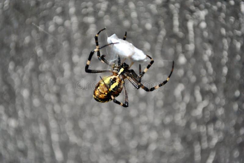 Argiope bruennichi osy pająka kobieta w sieci mieniu i warkocze latamy z pajęczynami fotografia stock