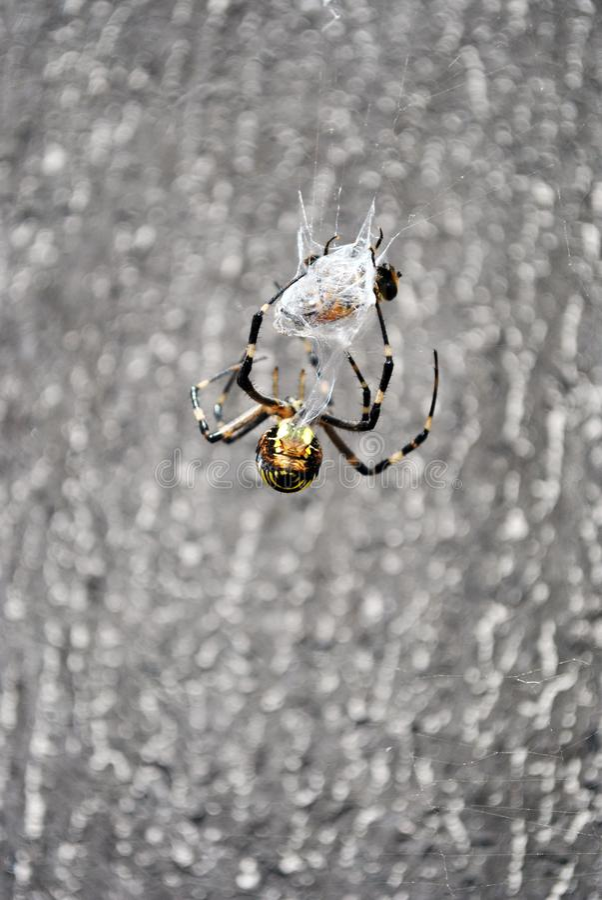 Argiope bruennichi osy pająka kobieta w sieci mieniu i warkocze latamy z pajęczynami, tylny widok obraz royalty free