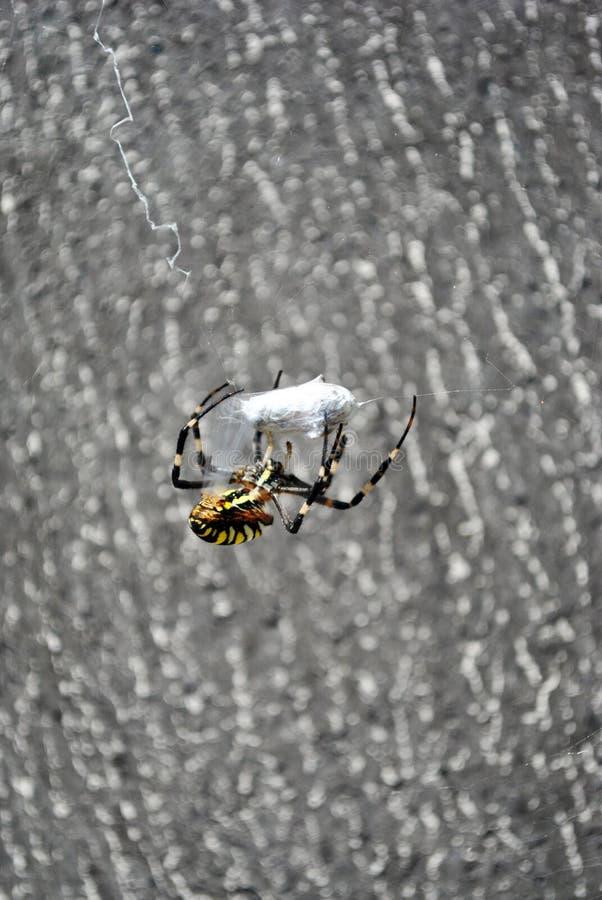 Argiope bruennichi osy pająka kobieta w sieci mieniu i warkocze latamy z pajęczynami, tylny widok zdjęcia royalty free