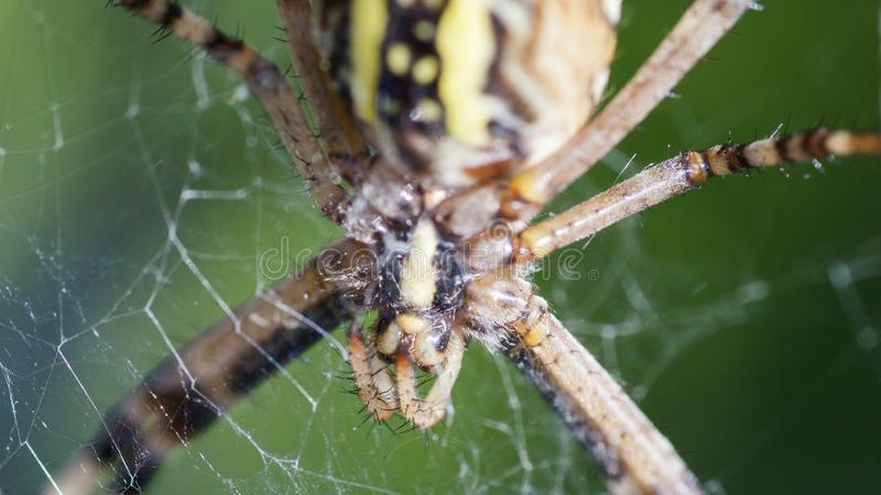 Argiope Bruennichi, ou la guêpe-araignée, en gros plan en nourriture de attente de Web photographie stock