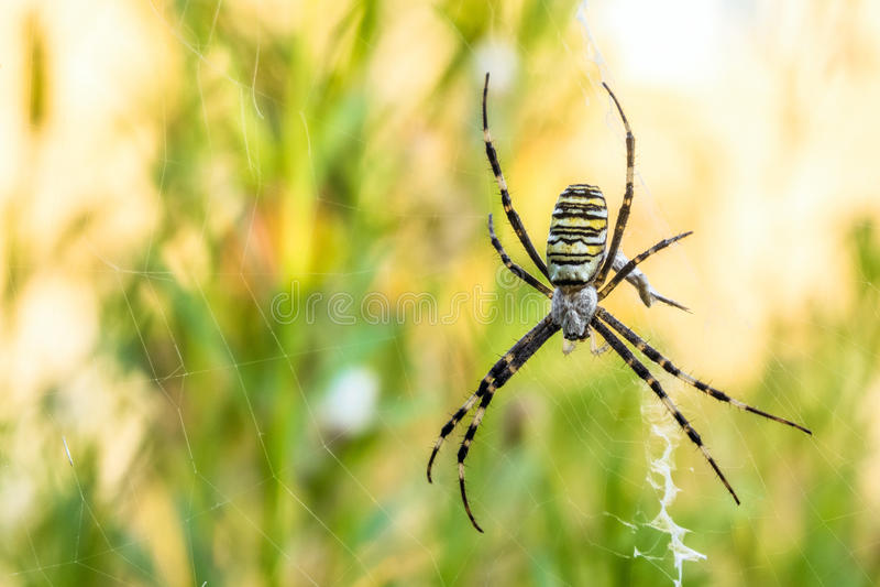 Argiope bruennichi pająk w sieci obraz royalty free