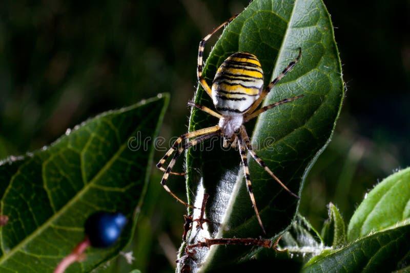 argiope bruennichi pająka osa zdjęcie stock