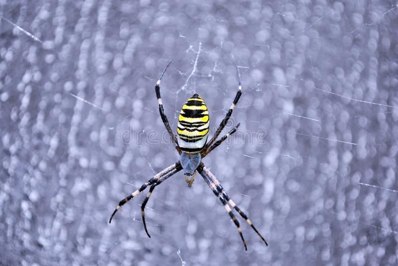 Argiope bruennichi wasp spider female in web, close up macro detail, soft blurry background royalty free stock image