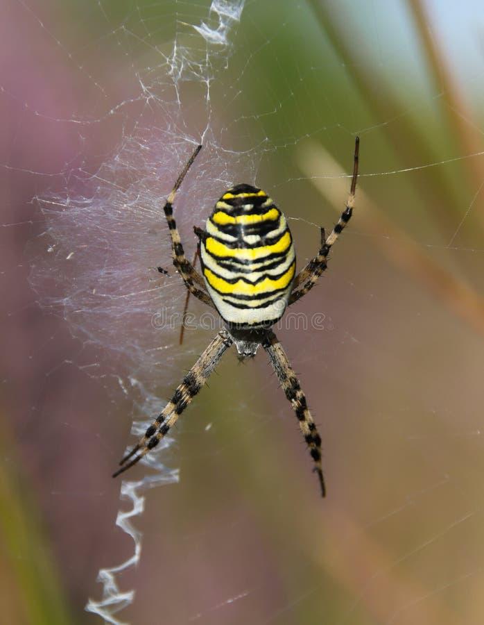 Argiope bruennichi, wasp spider. Argiope bruennichi wasp spider is a species of orb-web spider distributed throughout central Europe, northern Europe, north royalty free stock image