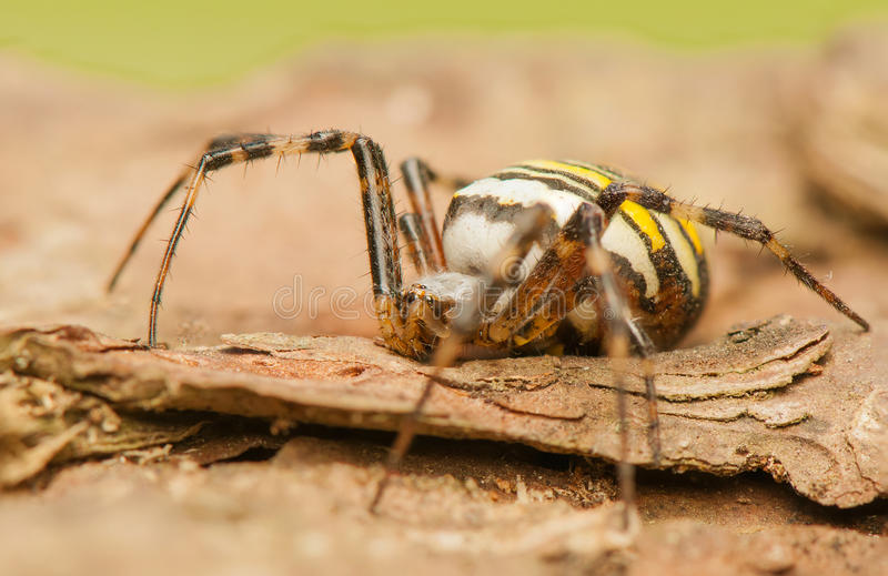 Argiope bruennichi. The world seen from up close - from a different perspective than usual, it was watching royalty free stock images