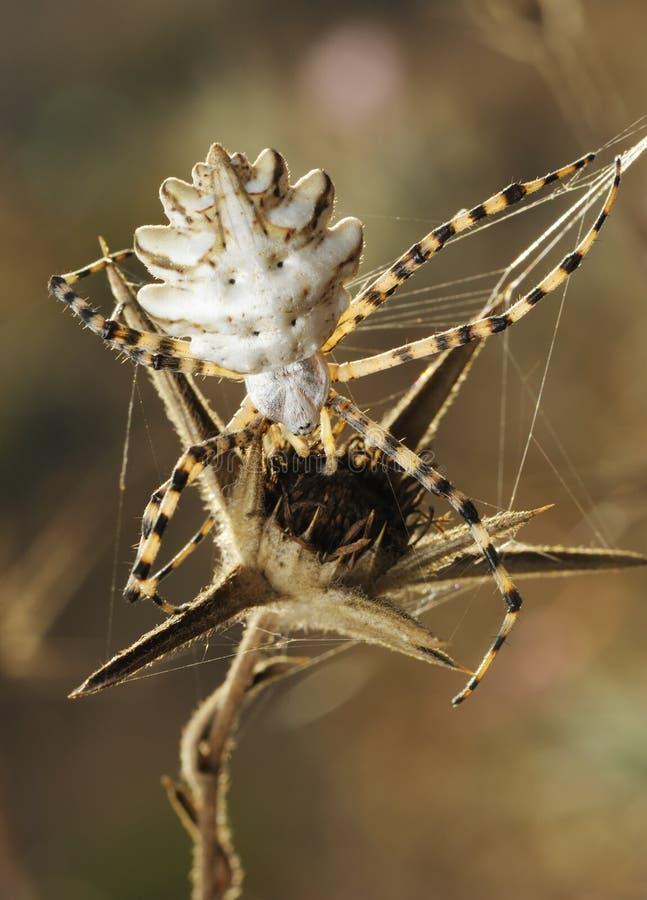 Argiope del ragno lobed fotografia stock
