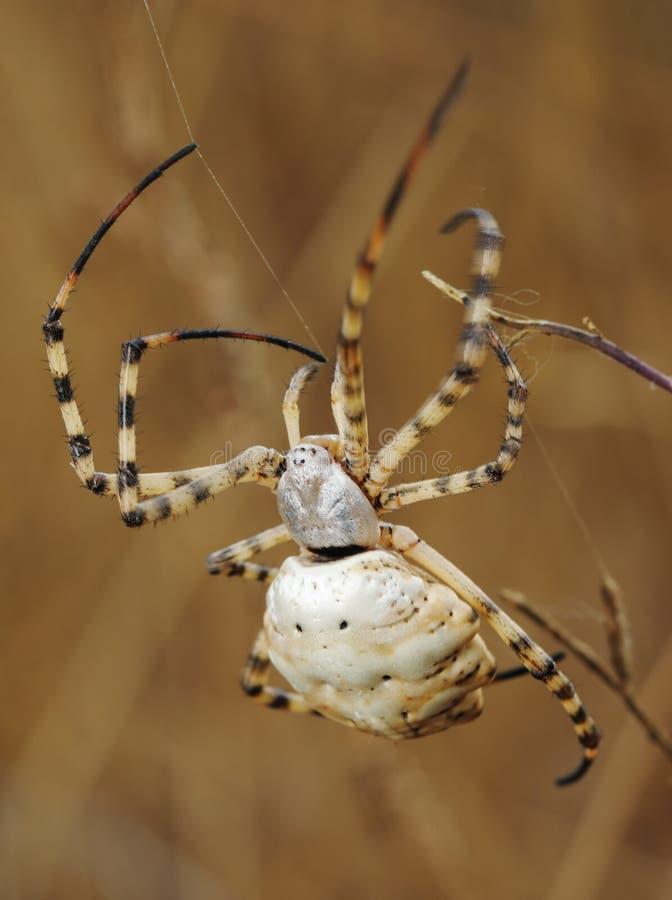 Argiope del ragno lobed immagini stock libere da diritti