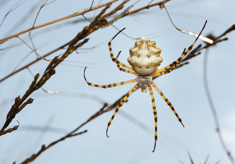 Argiope del ragno lobed immagine stock libera da diritti