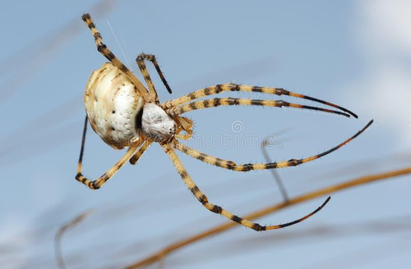 Argiope del ragno lobed immagine stock