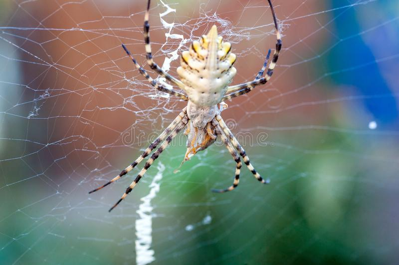 Argiope lobata Araneidae. A terrible poisonous spider Argiope lobata a female and a male sitting next to the threads of their web before mating royalty free stock photo