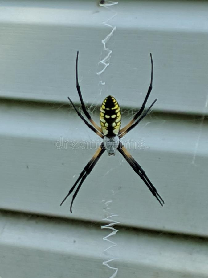 Argiope Orb Weaver Spider. S, writing, bugs royalty free stock image