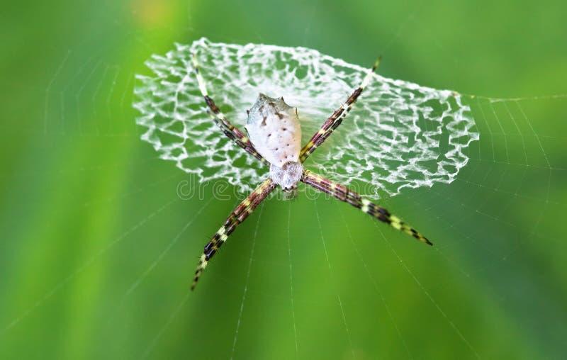 Argiope spider Argiope sp. Cahuita National Park, Costa Rica stock photography
