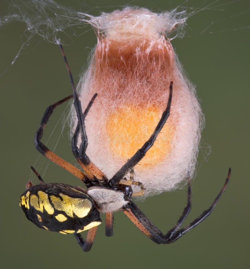 Argiope spider building egg case. An argiope spider is building an egg case of silk after laying a yellow cluster of eggs stock photography