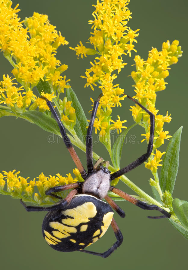 Argiope spider on goldenrod. A female argiope spider is climbing on goldenrod stock image