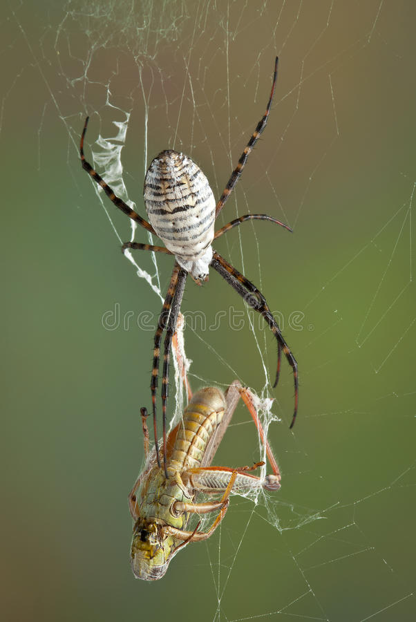 Argiope spider with hopper. A female banded argiope spider is moving towards a grasshopper that is caught in her web stock image